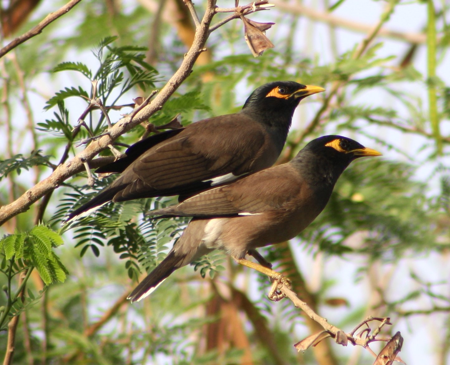 Common Myna (Acridotheres tristis) - photo#5