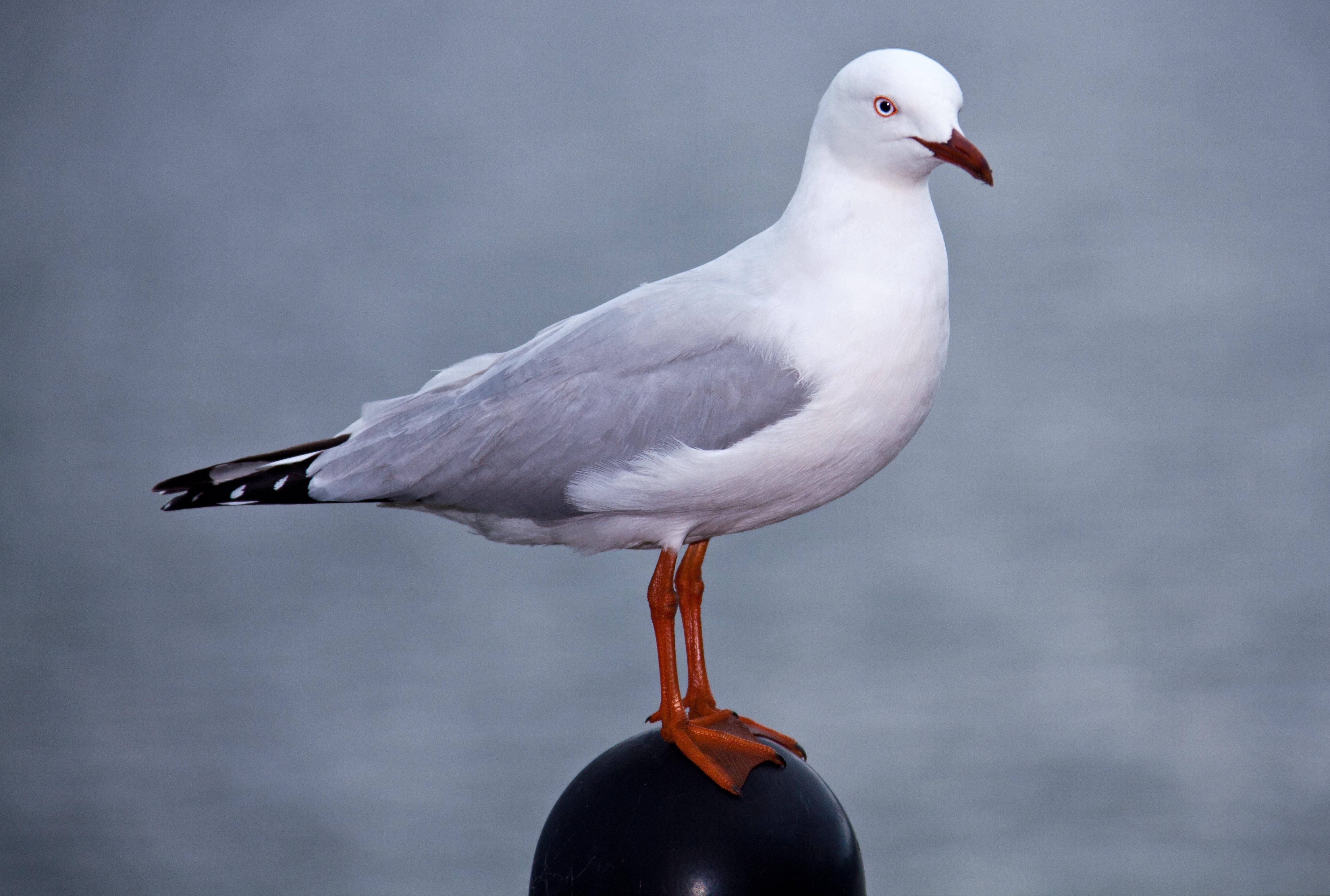 Silver Gull (Chroicocephalus [Larus] novaehollandiae)