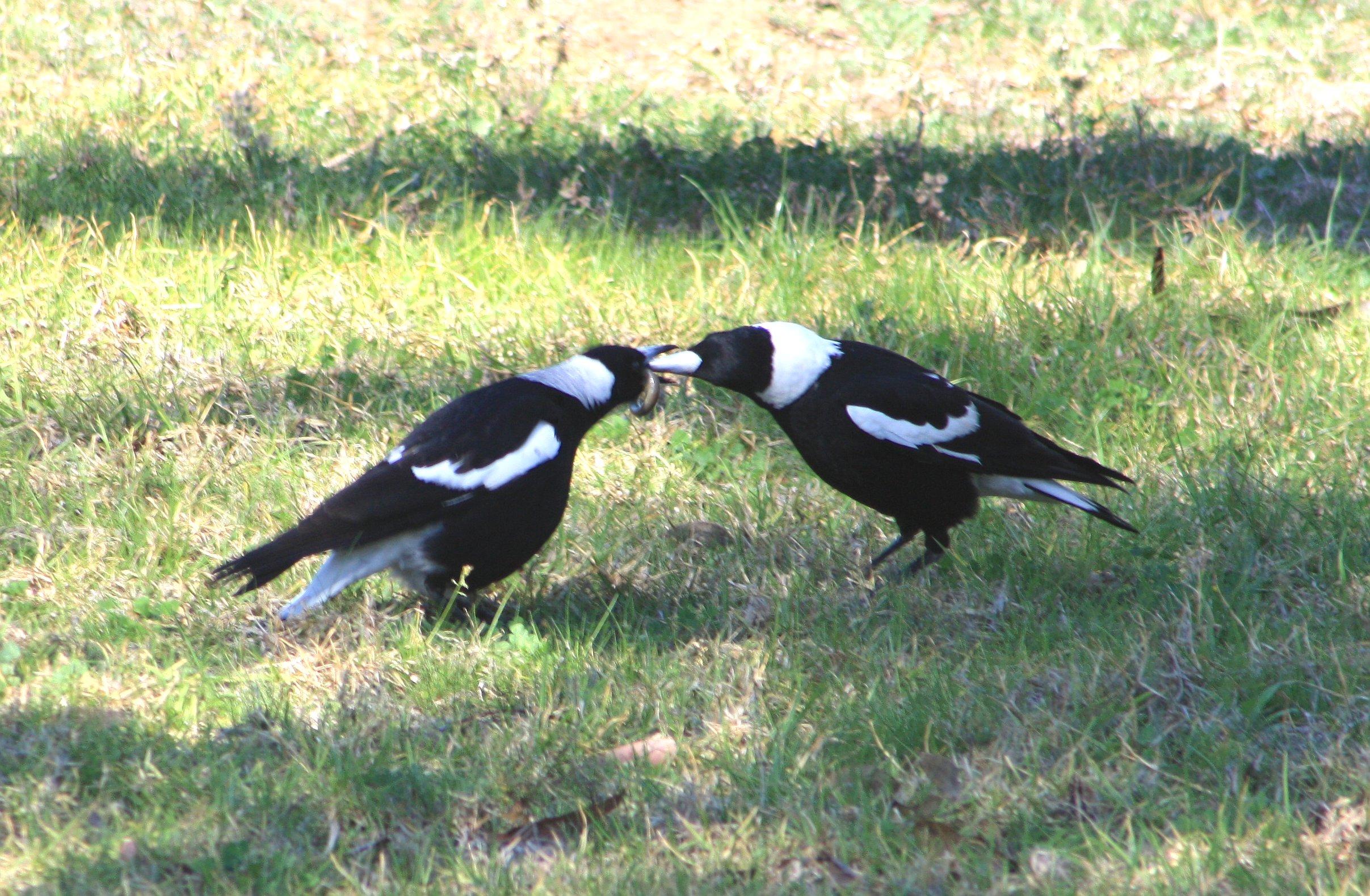 Australian Magpie (Gymnorhina tibicen) - photo#50