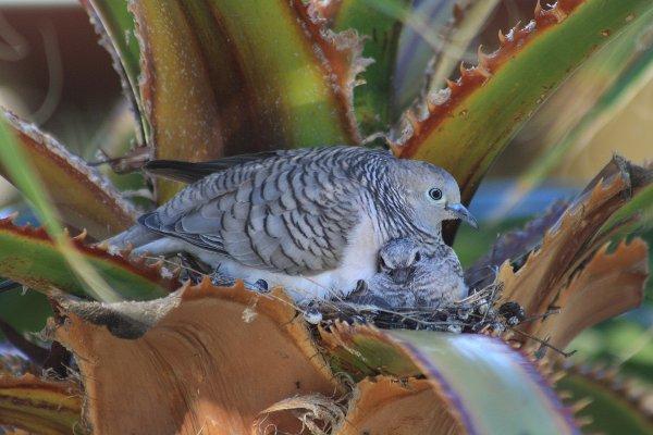 Peaceful Dove (Geopelia placida [striata])