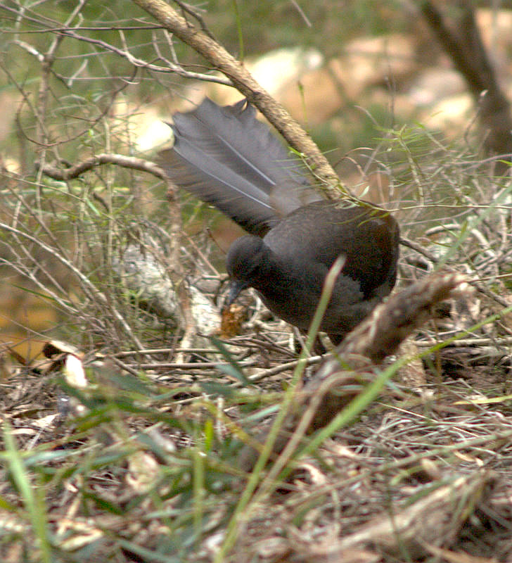 superb lyrebird menura novaehollandiae